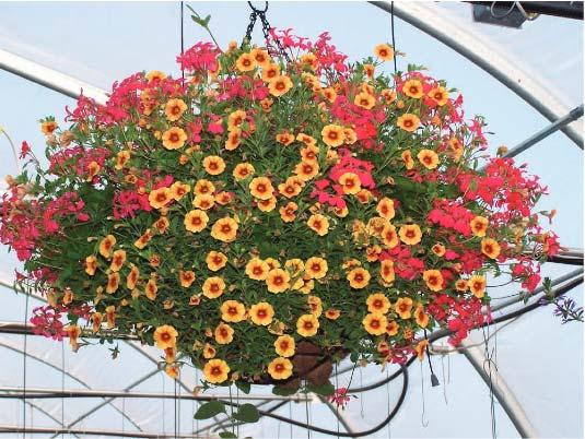 Lantana Hanging Basket Extraordinary Country Side Living Hanging Baskets